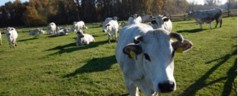 Love: a message from cows to humans